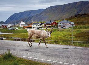 Rentier Nordkap iStock906203340 web